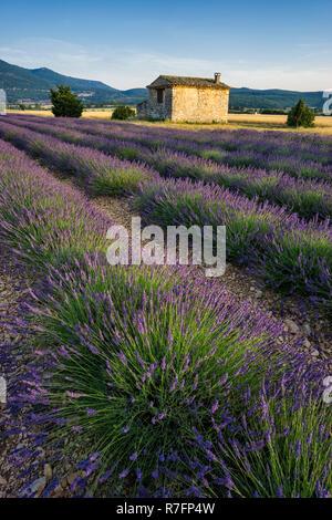 Lavendelfeld, Plateau de Valensole, Alpes-de-Haute-Provence, Landschaft, Provence, Frankreich Stockbild