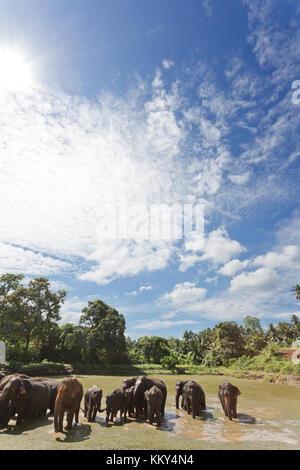 Elefanten bei Maha Oya - Sri Lanka, Asien Stockbild