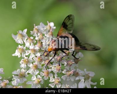 Pellucid Hoverfly, Volucella Pellucens, Syrphidae, Diptera, Weiblich, UK. Auch bekannt als Gürtel White Plume Horn Schwebfliege. Stockbild