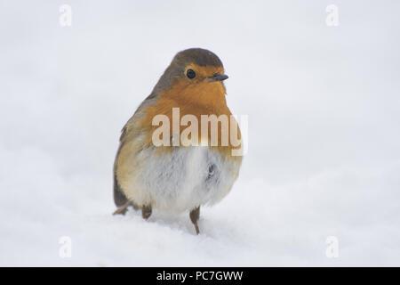 Robin, (Erithacus Rubecula) Erwachsenen, im Schnee Fütterung, fairham Bach, Nottinghamshire, Februar Stockbild