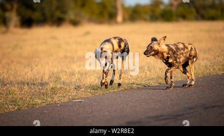 Zwei wilden Hund, Lycaon pictus, gehen zusammen, aus dem Rahmen, den Mund offen, trockenen gelben Gras Hintergrund. Stockbild