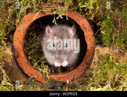 Eine wilde Ratte in ein Studio einrichten, die sich aus einer Wasserleitung Stockbild