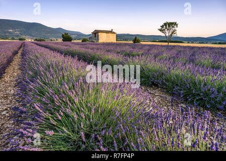 Lavendel, Feld, Lavandula Angustifolia, Plateau de Valensole, Frankreich, Provence-Alpes-Cote d ' Azur, Frankreich Stockbild