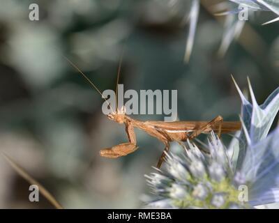 Europäische Zwerg Mantis (Ameles spallanzania/Ameles africana) männliche Jagd auf Sea Holly Blumen (Eryngium maritimum) auf einem Strand, Sardinien, Italien, Juni Stockbild