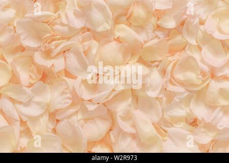 Blass rosa Rosenblätter verstreut, Vollbild. Stockbild