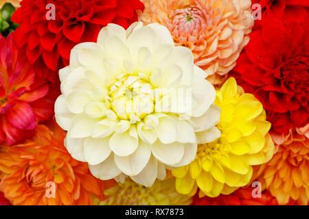 Botanik, Dahlie (Dahlia), Schweiz, Additional-Rights - Clearance-Info - Not-Available Stockbild