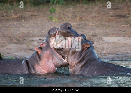 Flusspferde (Hippopotamus amphibius) playfighting, Chobe River, Botswana, Afrika Stockbild