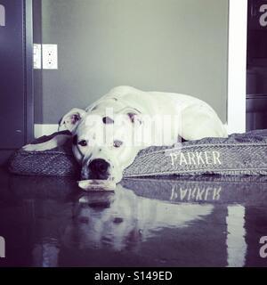 Hund im Bett im Büro Stockbild