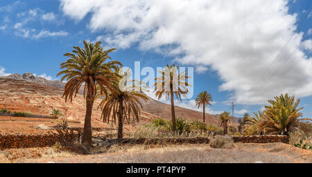 Palmen in Fuerteventura, Kanarische Inseln Stockbild