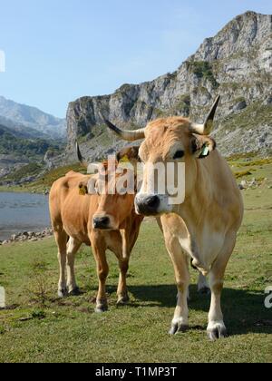 Asturische Berg Rinder (Bos taurus) auf Weideland rund um den See Ercina, Seen von Covadonga, Picos de Europa, Asturien, Spanien, August. Stockbild