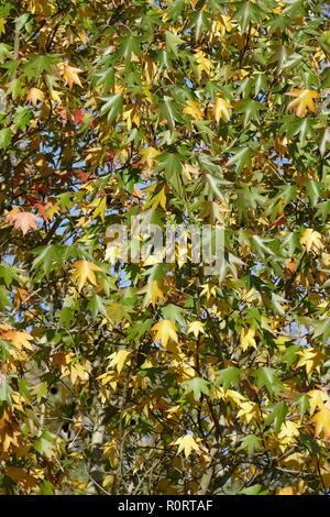 Ventilator Ahorn (Acer palmatum), bunte Blätter im Herbst auf einem Baum, Deutschland, Europa Stockbild