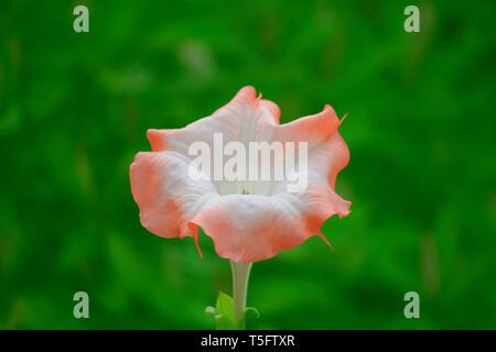 Trompete Blume, sunkarametta, Araku, Andhra Pradesh, Indien, Asien Stockbild