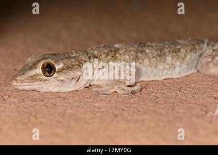Maurische Gecko (Tarentola mauritanica) Jagd auf einer Hauswand in der Nacht, Mallorca, Spanien, August. Stockbild