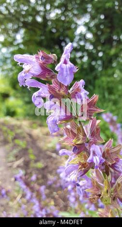 Lila Salvia Stockbild