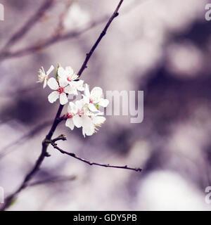 Eine Nahaufnahme von Kirschblüte in voller Blüte im Frühjahr Stockbild