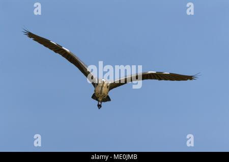 Vorderansicht eines Graureiher (Ardea cinerea) im Flug vor blauem Himmel am Neusiedler See im Burgenland, Österreich Stockbild