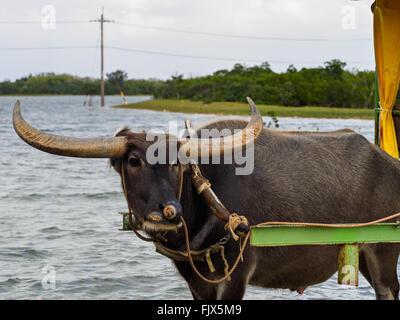 Gehörnter Stier gebunden Warenkorb See Stockbild