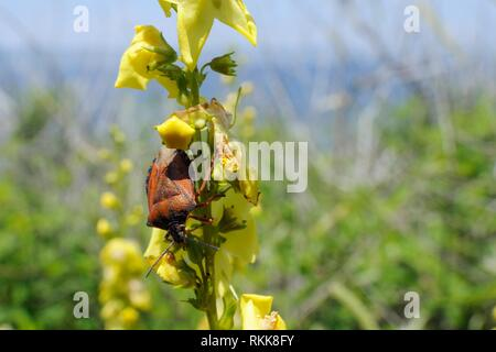 Red shield Bug/Mittelmeer stinken Bug (Carpocoris mediterraneus) auf Wellenförmig - Blatt Königskerze (molène undulatum) Blühende an der Küste, Lesbos, Griechenland, Mai Stockbild