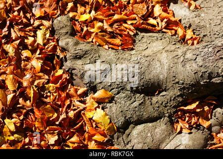 Alten knorrigen Baumstamm, bunte Blätter im Herbst auf dem Boden liegend, Deutschland, Europa ich Alter knorriger Baumstamm, buntes Herbstlaub auf dem Boden liegen Stockbild