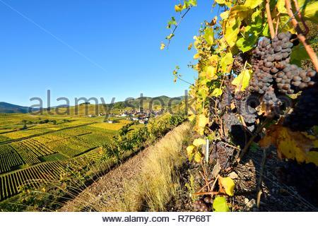 Frankreich, Haut Rhin, Kaysersberg, Elsass Wein Straße, Niedermorschwihr Dorf und Weinberg Stockbild