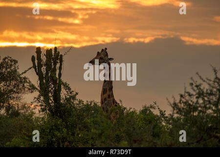 Rothschild Giraffen (Giraffa Plancius Rothschildi), Murchison Falls National Park, Uganda Stockbild