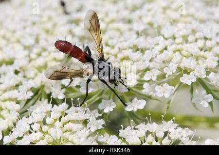 Parasit Fly/Tachinid fliegen (Cylindromyia bicolor) Einziehen auf wilde Möhre/Queen Anne's Lace (Daucus carota) Blumen, Lesbos/Lesbos, Griechenland, Juni. Stockbild