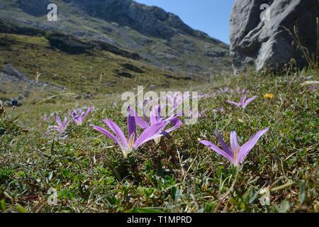 Pyrenäen merendera/False Herbstzeitlose (Merendera pyrenaica/Colchicum montanum) Blühende auf montane Weiden, Picos de Europa, Spanien. Stockbild