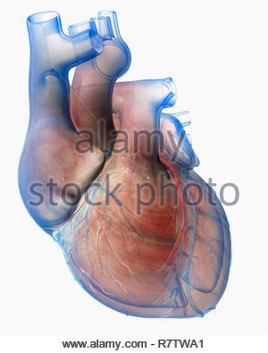 Computer-generierte biomedizinischen Abbildung des menschlichen Herzens Stockbild