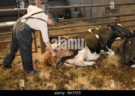 Tierarzt Prüfung 30 Minuten alte Neugeborene Holstein Friesen Kalb (Bos taurus), da es neben seiner Mutter in einer Scheune, Gloucestershire, Großbritannien Stockbild
