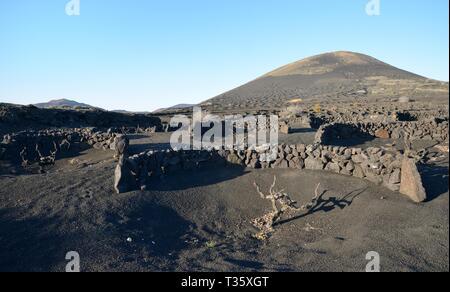 """Weinreben wachsen auf Land bedeckt mit vulkanischer Asche """"lapilli"""" vom Wind geschützt durch niedrige, geschwungene Wände' Zocos"""", La Geria, Lanzarote Stockbild"""