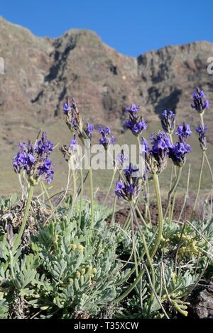 Fernleaf/gezackten Lavendel (Lavandula pinnata), endemisch auf den Kanaren und Madeira, blühende unter Famara Klippen, Lanzarote, Kanarische Inseln, Februar Stockbild