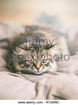 Porträt einer Katze im Bett ausruhen Stockbild