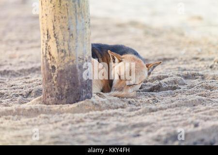 Schlafende Hund am Strand, Sri Lanka, Asien Stockbild