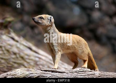 Mungo, Cynictis Penicillata, gelb Herpestinae, Herpestidae, Carnivora, Mammalia. Manchmal auch als der rote Erdmännchen. Stockbild