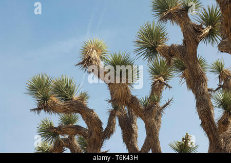 Joshua Tree Laub, Big Rock Creek Wildlife Sanctuary, Kalifornien. Digitale Fotografie Stockbild