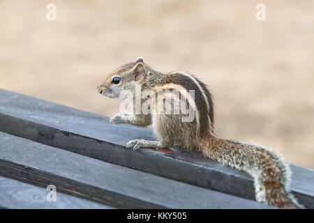 Aufmerksame Eichhörnchen, Ahungalla, Sri Lanka, Asien Stockbild