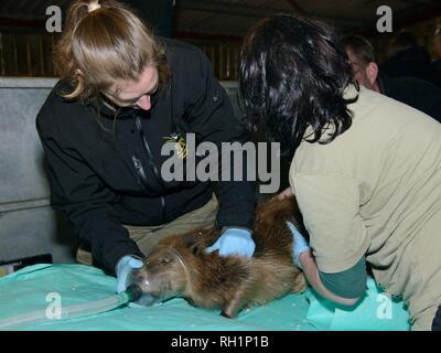 Eurasischen Biber (Castor Fiber) gefangen auf dem River Otter betäubt von einem Tierarzt vor Health Checks und re-release, Devon, UK, März 2015. Stockbild