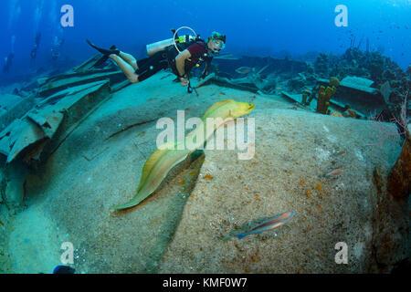 Grüne Muränen schwimmt frei über dem Wrack der Oro Verde, Grand Cayman Stockbild