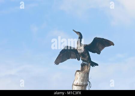 Madu Ganga, Balapitiya, Sri Lanka - Ein Kormoran Verbreitung seiner riesigen Flügel während Schreien Stockbild