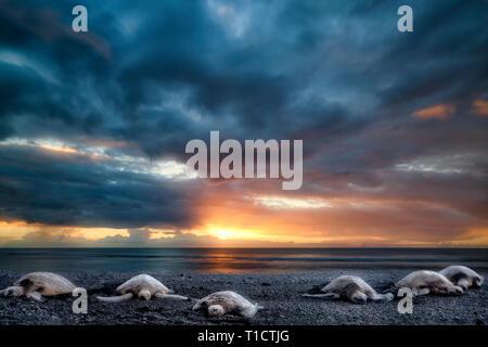 Schildkröten am Strand von Punaluu Black Sand Beach. Hawaiis Big Island Stockbild