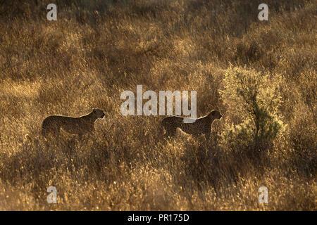 Gepard (Acinonyx Jubatus), Kgalagadi Transfrontier Park, Südafrika, Afrika Stockbild