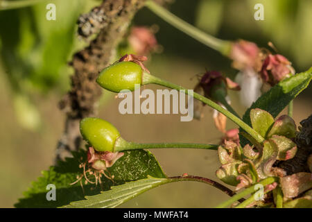 Grüne Kirschen cherry tree auf den Garten Stockbild