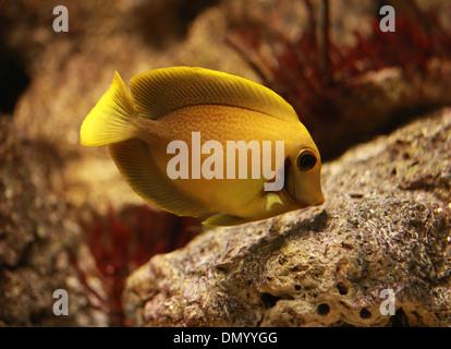 Läutet Angelfish, Centropyge Heraldi, Pomacanthidae, Barsch. Stockbild