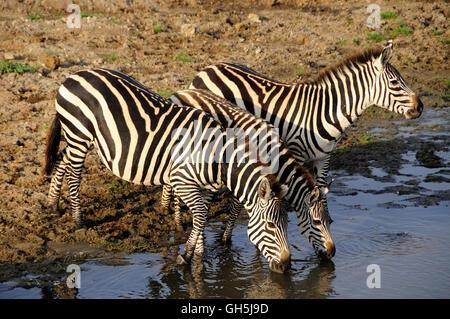 Zoologie/Tiere, Säugetiere (Mammalia), Zebras (Equus quagga) an der Wasserseite des Tarangire River, Tarangire Stockbild