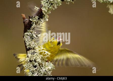 ERLENZEISIG Zuchtjahr Spinus ein erwachsener Mann in Bedrohung Haltung. Rothiemurchus Forest, Schottland, UK Photographer.Andrew Stockbild
