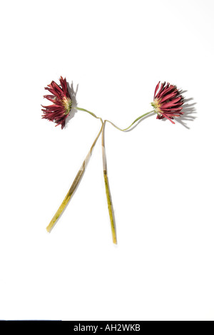 Rote Blumen auf weißem Hintergrund, Studio gedreht Stockbild
