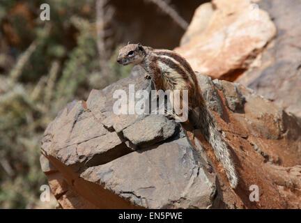 Barbary Grundeichhörnchen, Atlantoxerus Getulus, Sciuridae. Fuerteventura, Kanarische Inseln, Spanien. Stockbild