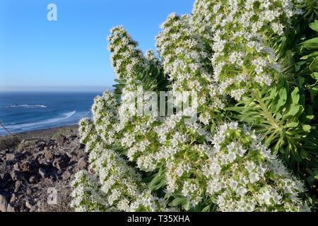 Weiß tajinaste (Echium decaisnei purpuriense/Echium famarae), eine Unterart endemisch auf Lanzarote, blühen auf der hügeligen Küste, Famara, Lanzarote Stockbild