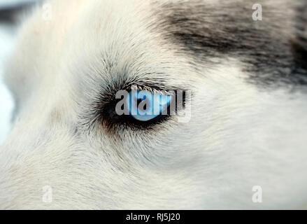 Auge eines Hundes Stockbild