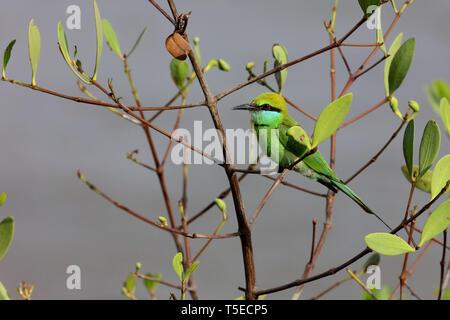 Little Green Bee-eater, TAPI-Fluss, Surat, Gujarat, Indien, Asien Stockbild